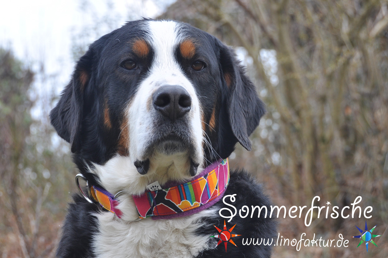 Ma chienne Sintra et son collier d'été